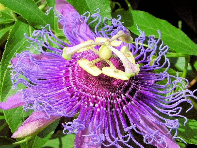 Purple passionflower, Purple passion vine, Maypop, Apricot vine Passiflora incarnata L. Passifloraceae Passion-Flower Family for sale unique & unusual seeds